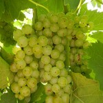 D Vidal Blanc E-L Stage 34 Berries begin to soften; sugar starts increasing.