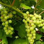 D Mars E-L Stage 34 Berries begin to soften, sugars start increasing.
