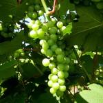 MVEC Delaware E-L Stage 34 Berries begin to soften; sugars start increasing.