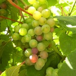 MVEC Delaware E-L Stage 34 Berries with intermediate sugar levels.