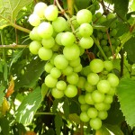 MVEC Sunbelt E-L Stage 34 Berries begin to soften; sugar starts increasing.