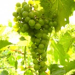MVEC Chambourcin E-L Stage 34 Berries begin to soften; sugar starts increasing.
