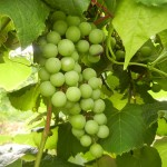 W Catawba E-L Stage 33 Berries still hard and green.