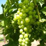 R Seyval Blanc E-L Stage 34 Berries begin to soften; sugars start increasing.