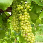 R Seyval Blanc E-L Stage 36 Berries with intermediate sugar levels.