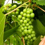 F Vignoles E-L Stage 33 Berries still hard and green.