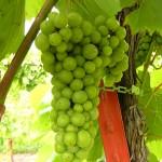F Vignoles E-L Stage 34 Berries begin to soften; sugars start increasing.