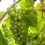 F Vignoles E-L Stage 35 Berries begin to color and enlarge.