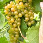 F Chardonel E-L Stage 36 Berries with intermediate sugar levels.