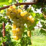 F Chardonel E-L Stage 38 Berries harvest ripe.