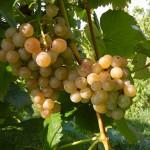 F Traminette E-L Stage 38 Berries harvest ripe.