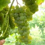 F Cayuga White E-L Stage 38 Berries harvest ripe.
