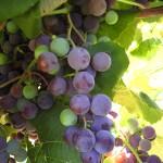 D Concord E-L Stage 36 Berries with intermediate sugar levels