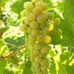 D Vivant E-L Stage 36 Berries with intermediate sugar levels.