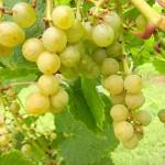 D Vivant E-L Stage 38 Berries harvest ripe.