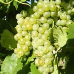 D Vidal Blanc E-L Stage 36 Berries with intermediate sugar levels.