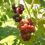 D Mars E-L Stage 38 Berries harvest ripe.
