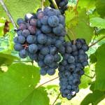 N Norton E-L Stage 36 Berries with intermediate sugar levels.
