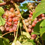 MVEC Delaware E-L Stage 36 - 37 Berries with intermediate sugar levels to Berries not quite ripe.