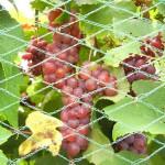 MVEC Delaware E-L Stage 37 Berries not quite ripe.