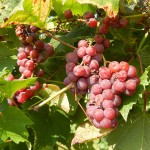 MVEC Delaware E-L Stage 38 Berries harvest ripe.