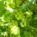 MVEC Valvin Muscat E-L Stage 34 Berries begin to soften; sugar starts increasing.