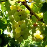 MVEC Valvin Muscat E-L Stage 37 Berries not quite ripe.