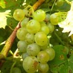MVEC Valvin Muscat E-L 38 Berries harvest ripe.