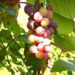 MVEC Sunbelt E-L Stage 35 Berries begin to color and enlarge.