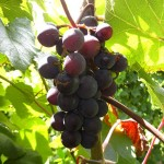 MVEC Sunbelt E-L Stage 37 Berries not quite ripe.