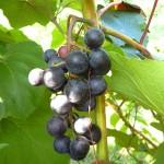 MVEC Sunbelt E-L Stage 38 Berries harvest ripe.