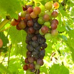 MVEC Chambourcin E-L Stage 35 Berries begin to color and enlarge.