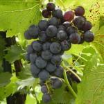 MVEC Chambourcin E-L Stage 36 Berries with intermediate sugar levels.