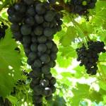MVEC Chambourcin E-L Stage 3 Berries not quite ripe.