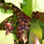 W Catawba E-L Stage 36 Berries with intermediate sugar levels.