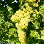 R Seyval Blanc E-L Stage 36 - 37 Berries with intermediate sugar levels to Berries not quite ripe.