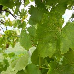 R Seyval Blanc E-L Stage 39 Berries overripe.