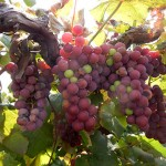 R Catawba E-L Stage 36 Berries with intermediate sugar levels.