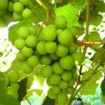 R Catawba E-L Stage 34 Berries begin to soften; sugar starts increasing.