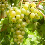 F Vignoles E-L Stage 36 Berries with intermediate sugar levels.