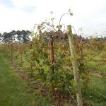 F Chardonel E-L Stage 40 After harvest before complete cane maturation.