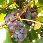 D Concord E-L Stage 38 Berries harvest ripe.