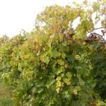 D Vidal Blanc E-L Stage 40 After harvest before complete cane maturation.