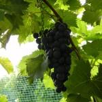 MVEC Chambourcin E-L Stage 37 Berries not quite ripe.