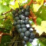MVEC Chambourcin E-L Stage 38 Berries harvest ripe.