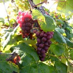 R Catawba E-L Stage 38 Berries harvest ripe.