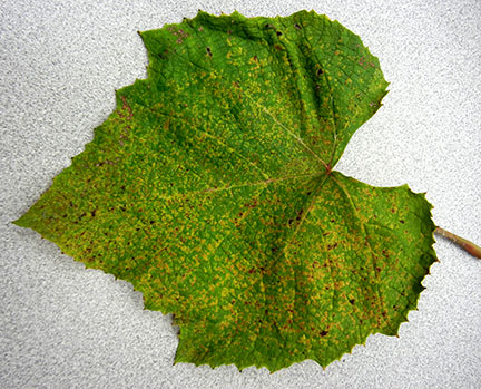 The top of the leaf has small yellowish and brown spots.