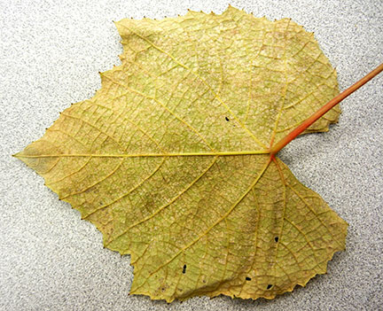 The underside of the leaf has some whitish powder that looks more like powdery mildew than downy.