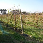 F Vignoles E-L Stage 43 Beginning of leaf fall F Chardonel E-L Stage 43 Beginning of leaf fall