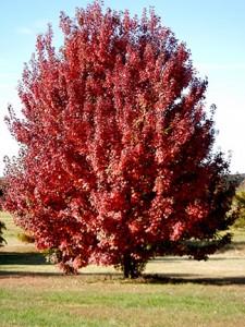 Acer ruburm 'Brandywine'